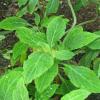 Систематика и сортове на градинския чай
