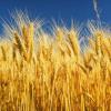Биологични изисквания на царевицата