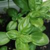 Ботаническа характеристика на босилека