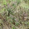Ботаническа характеристика на бялия риган