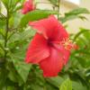 Миниатюрна роза