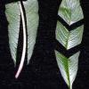 Как да размножаваме цветята си чрез листни резници