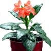 Кросандра (Crossandra infundibuliformis)
