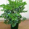 Радермахерия (Radermacheria sinica)