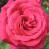 Роза – царица на ароматите