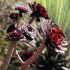 Еониум (Aeonium arboreum)