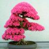 Индийска азалия (Rhododendron indicum)