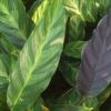 Калатея (Calathea louisae)