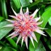 Билбергия (Aechmea fasciata)