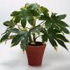 Фатсия (Fatsia japonica)