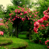 Размножаване на розите част 2