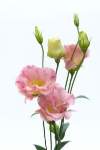 Flower-Lisianthus (note-not a selection)