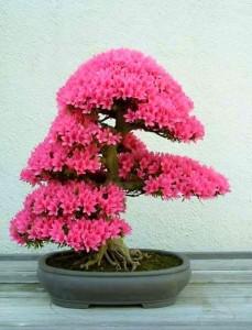 AZALEA  (Rhododendrum Indicum)